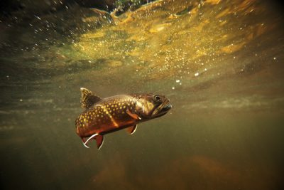 Trout - The Center of Biological Risk